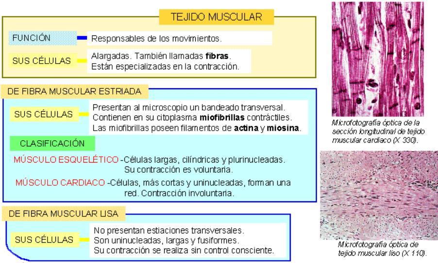 Dorable Tres Tipos De Tejido Muscular Ornamento - Imágenes de ...