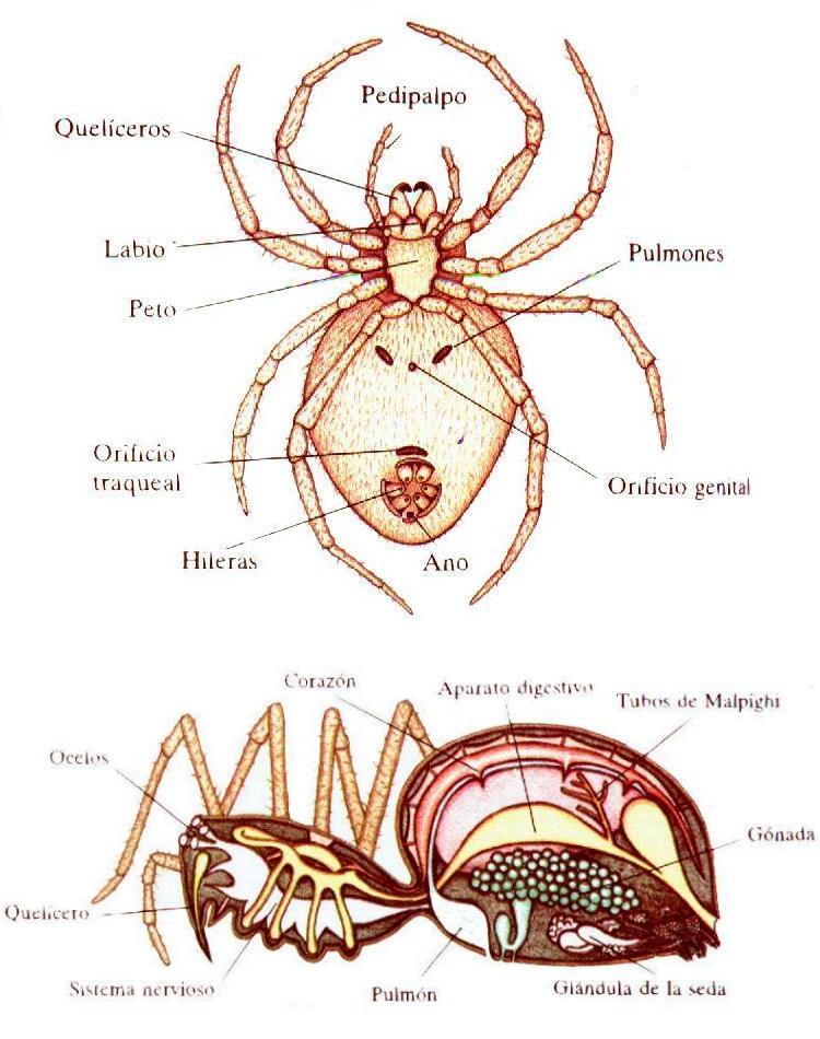 Arácnidos: Anatomía