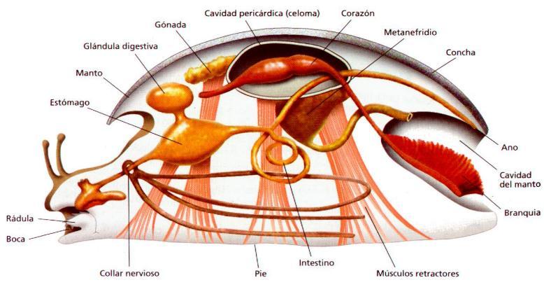 Estructura de un molusco - Estructura caracol ...