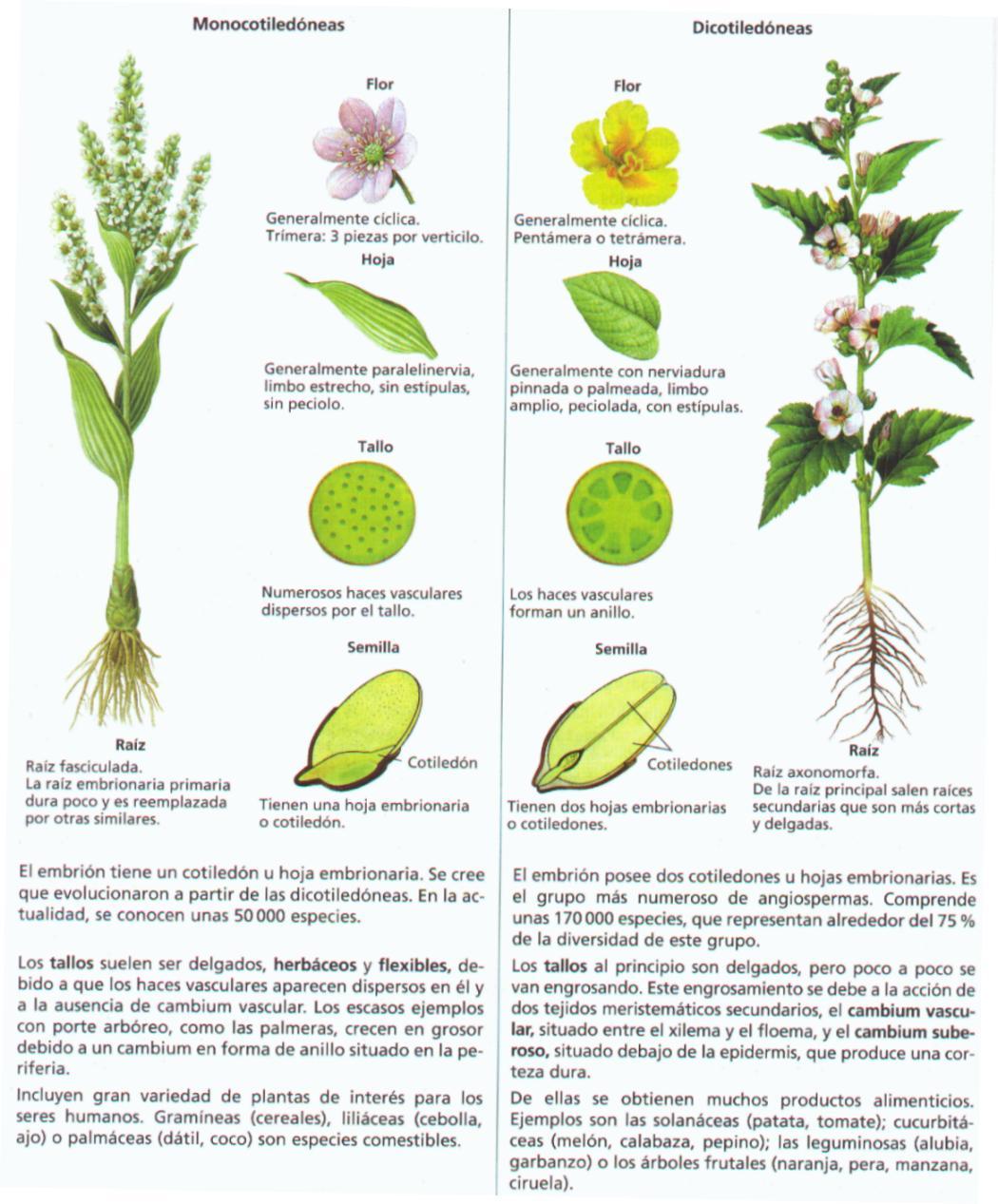 Ejemplos de angiospermas