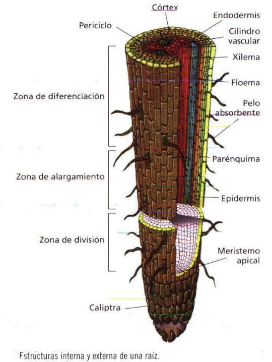 Morfologia En Plantas Superiores Raiz