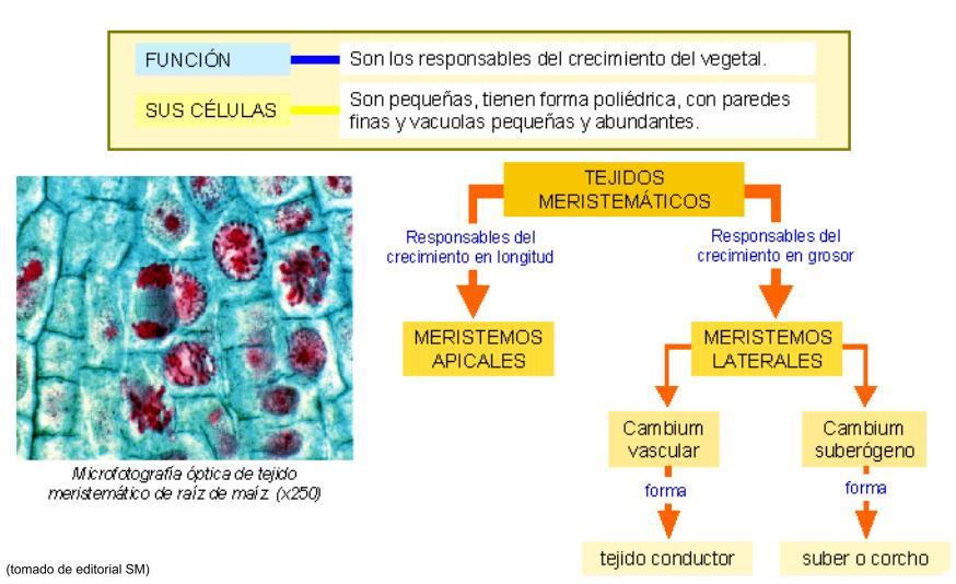2 tejidos adultos se encuentran divididos en 3 sistemas for Plantas fundamentales