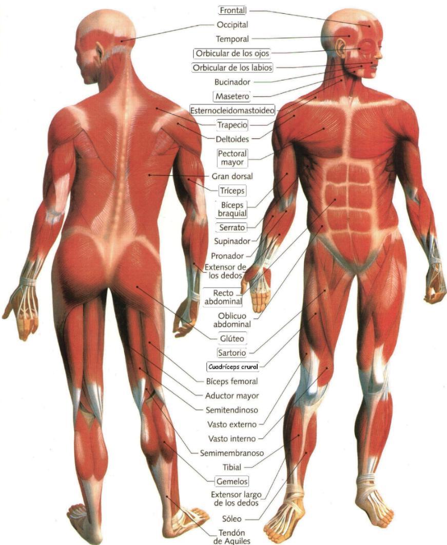 Rutina Para Aumentar Y Marcar Pecho Brazos y Espalda