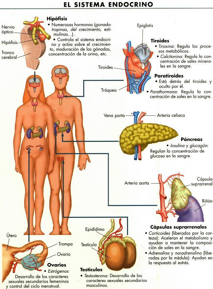diferencia entre testiculo ovario: